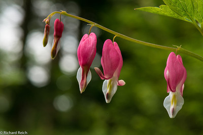 Bleeding Hearts  6-5-13