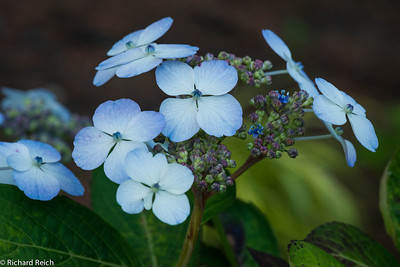 HYDRANGEA serrata 'Blue Bird' - 6/20/12  Continuous flowering from June to September  It predictably blossoms every summer...sometimes into late fall depending on weather and sun conditions.   Foliage of the Bluebird Hydrangea provides another visual interest in fall when it turns to copper or deep red.  Blue Bird Hydrangea has the ability to change bloom color. Blue flowers appear if you have acidic soil, and you will get pink tints if your soil is alkaline. Just change the acidity of the soil to match the color you prefer.
