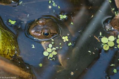 Pig frog Corkscrew Swamp Sanctuary