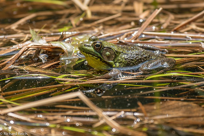Bull Frog Blue Hills Reservation, Milton, MA 5-30-13