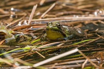 Bull Frog Blue Hills Reservation, Milton, MA 5-30-13
