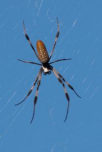 Spider, Golden Silk Spider, Nephila clavipes Florida