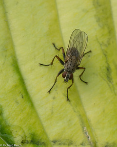 Classified as House Fly and kin (Muscidae) on the leaf of a Hosta  [source: bugguide.net]