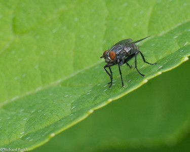 Maybe Sarcophagidae?  [source: bug guide.net]  Sarcophagidae (Flesh Flies) These are rather nondescript flies with checkered grey patterns, resembling Muscid flies, except they are a bit larger in size. The adults occasionally feed from flowers with exposed nectaries. The rather large larvae feed on rotting carcasses, as might be expected from the common name for this family.