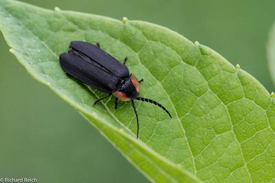 Black Firefly (Lucidota atra)