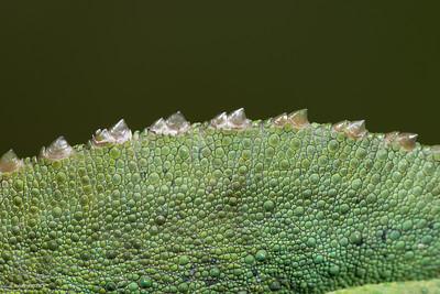 Jackson Chameleon, male