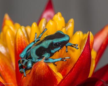 Green Auratus Dart Frog