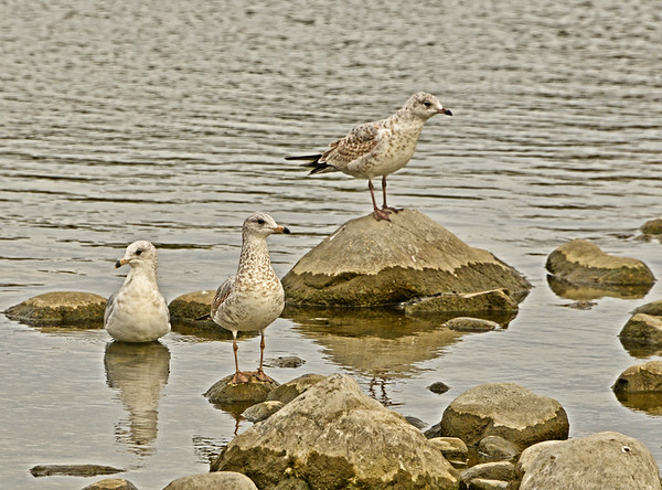 Close-Ups, Ypung Quail, Herons, Columbia Park Gulls, Etc, 9-20-16