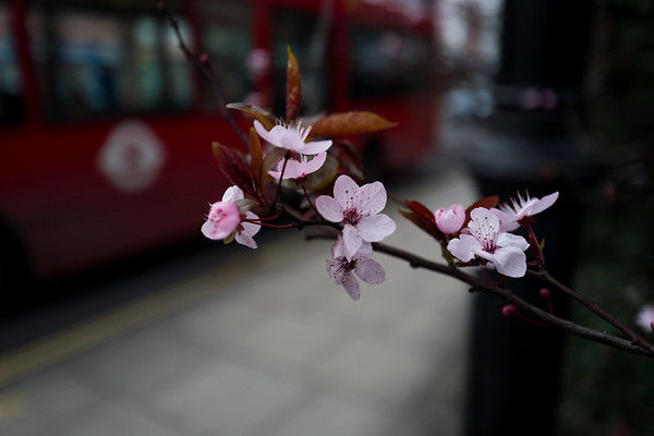 """Spring blossom with red bus bokeh"""