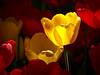 Daffodil Glow