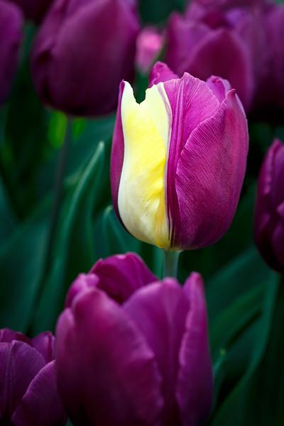 Oddball Daffodil