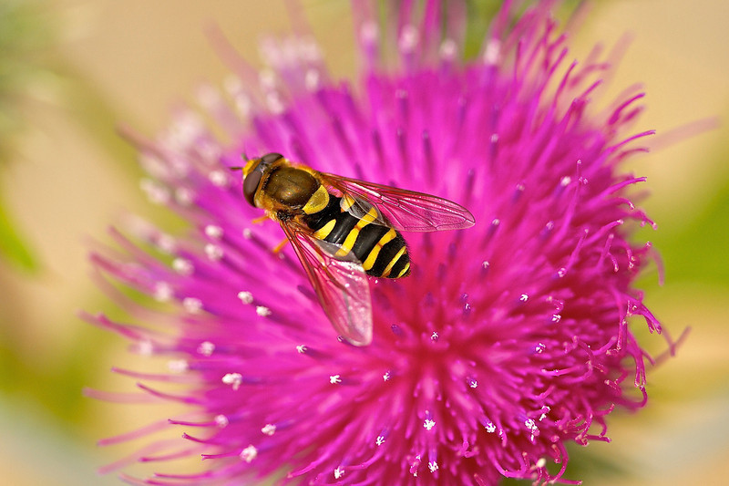 Drone Fly on Thistle