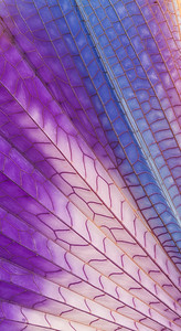 Grasshopper Wing Abstract, close up