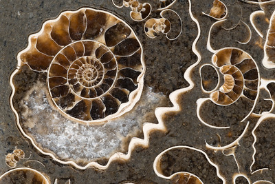 Ammonite Fossil Slab