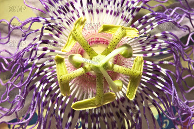 Passion Flower, or Passion Vines (Passiflora sp.).