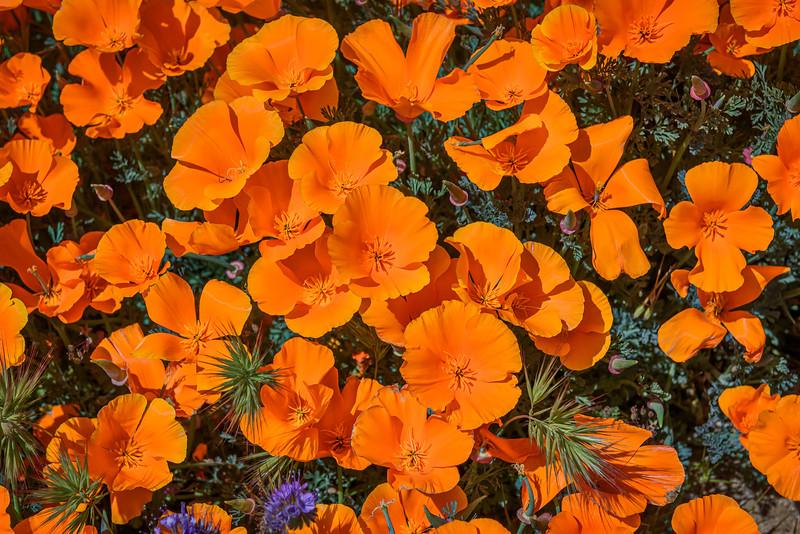 Closeup of Poppy field near Lancaster, California