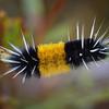 Woolly Bear Caterpillar in Wyoming