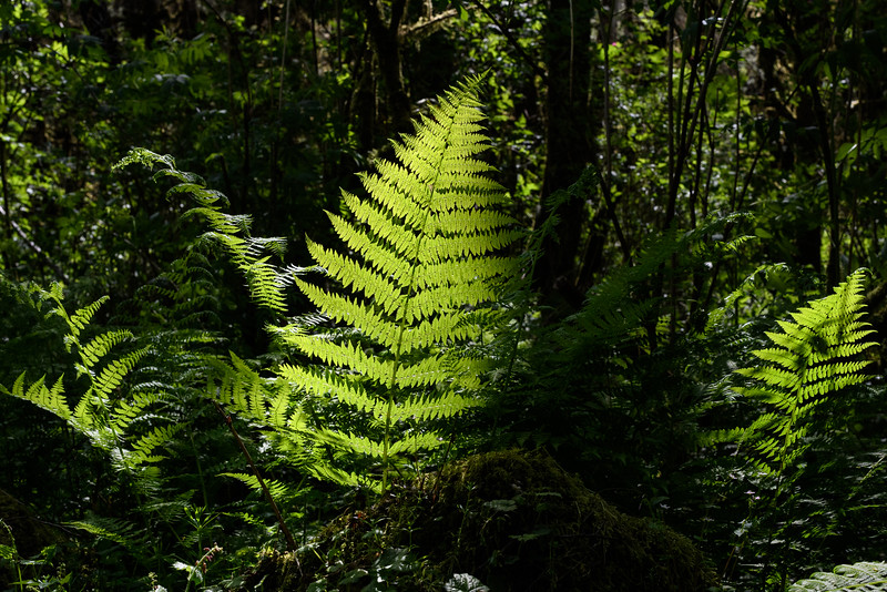 Backlit fern near Munsen Creek Falls, Oregon