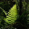Backlit fern near Munsen Creek Falls, Oregon