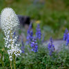 Beargrass (Xerophyllum tenax) in Glacier National Park, Montana