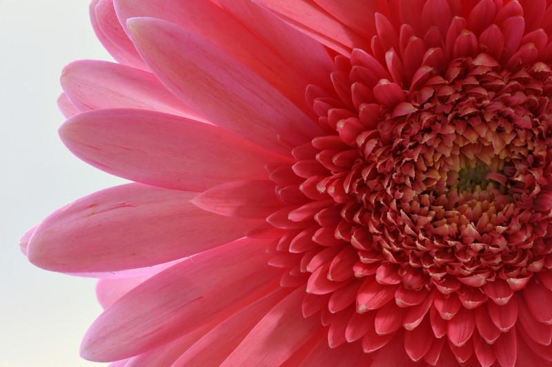 Aster Flower Closeup