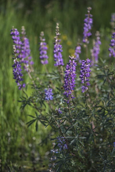 Lupine in Yosemite National Park, California