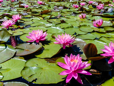 Lily Pads with flowers