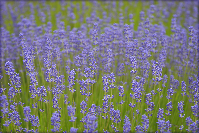 Lavender Field on Whidbey Island, Washington