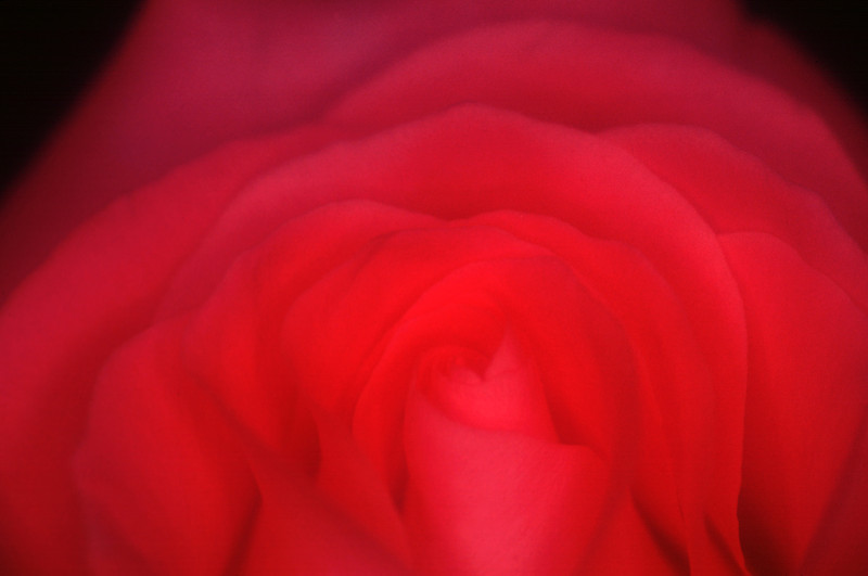 Soft Focus Red Rose Closeup