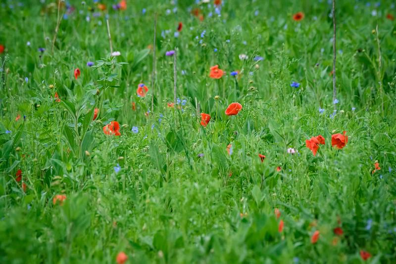 Wildflowers near Kearney, Nebraska