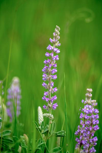Wildflowers in Turnbull National Wildlife Refuge near Cheney, Washington