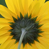 Sunflower Back