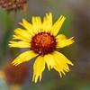 Wildflower, Glacier National Park, Montana