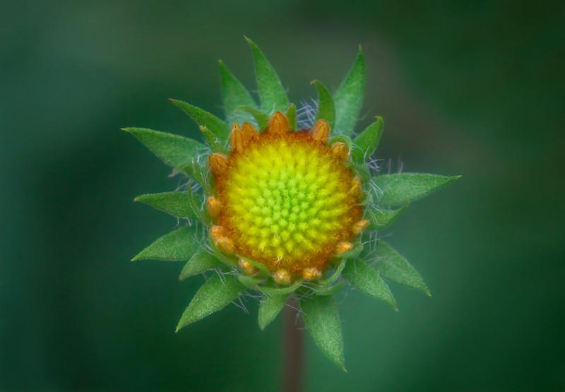Extreme closeup of young Rudbeckia garden flower