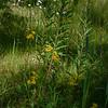 Wildflowers along Moraine Lake, Canadian Rockies, Alberta, Canada