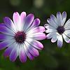 African Daisy, Desert Botanical Garden, Scottsdale, Arizona
