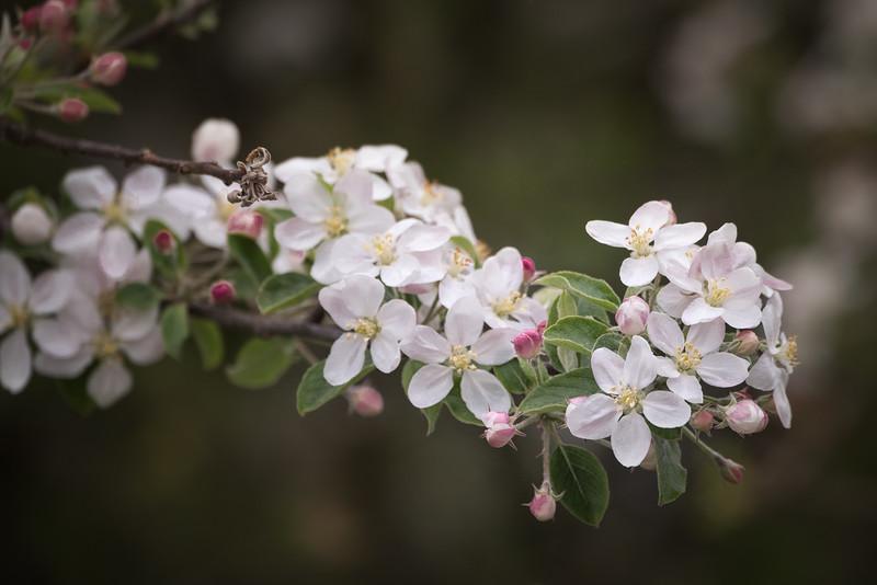 Apple Blossoms in Oregon