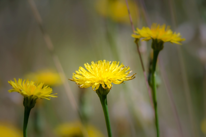 Closeup of Seaside Dandelions on the Oregon Coast