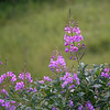 Fireweed (Chamerion angustifolium), Glacier National Park, Montana