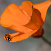 Ladybug on Poppy, Lake Hughes, California