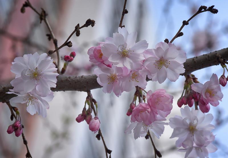 Cherry Blossoms in Washington Square Park