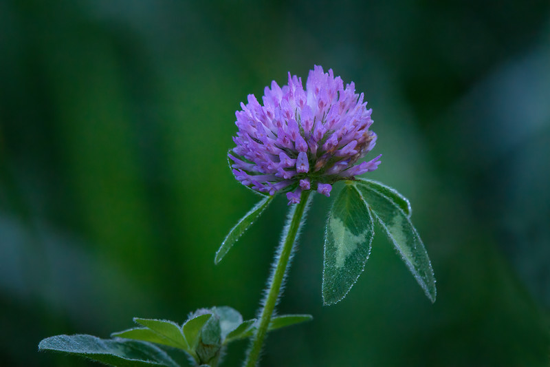 Purple Clover with dew drops at Wiley Slough in the Skagit Valley, Washington State