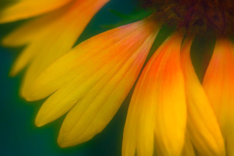 Extreme closeup of Rudbeckia garden flower petals