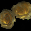 Backlit Light painted Roses