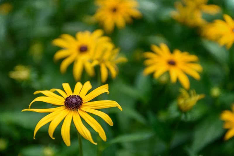 Yellow Wildflower, Glacier National Park, Montana