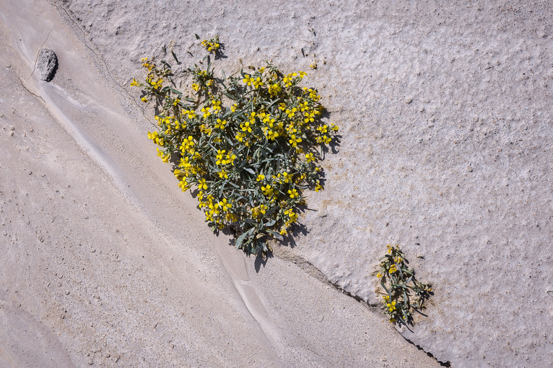 Wildflowers growing in the sandstone at Toadstool Geological Park in northwestern Nebraska