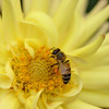 Bee on Dahlia Flower