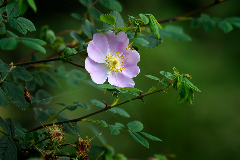 Wild Rose or Nootka Rose (Rosa nutkana), wildflower of the Pacific Northwest