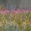 Wildflowers, Waterton Glacier National Park, Alberta, Canada