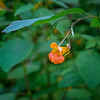 Spotted Jewelweed along the Sauk River in the North Cascades, Washington State